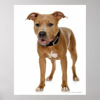 Portrait de studio du chiot américain 2 de pitbull affiche