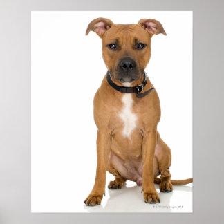 Portrait de studio du chiot américain 3 de pitbull affiche