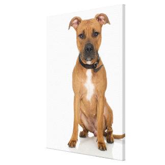 Portrait de studio du chiot américain 3 de pitbull impression sur toile