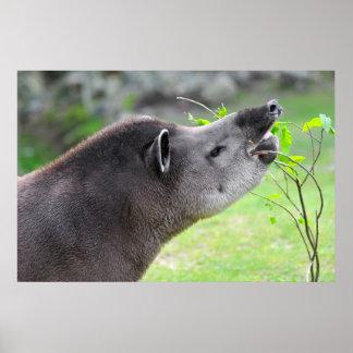 Portrait de tapir sud-américain affiche