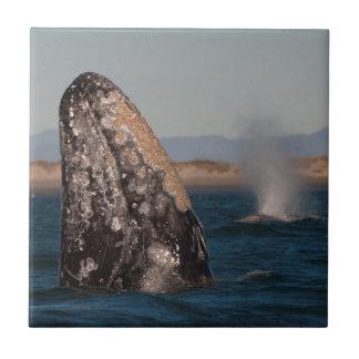 Portrait de tête de baleine grise petit carreau carré