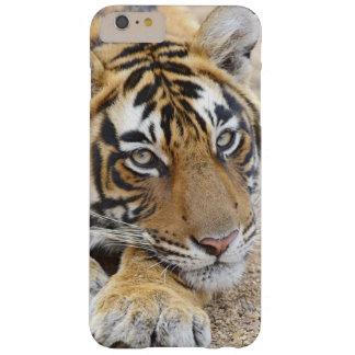 Portrait de tigre de Bengale royal, Ranthambhor 4 Coque Barely There iPhone 6 Plus