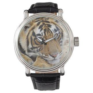 Portrait de tigre de Bengale royal, Ranthambhor 4 Montre