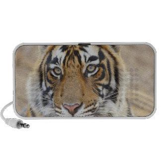 Portrait de tigre de Bengale royal, Ranthambhor 6 Système De Haut-parleurs