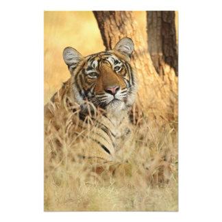 Portrait de tigre de Bengale royal, Ranthambhor Tirages Photo