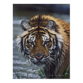 Portrait de tigre sibérien humide carte postale