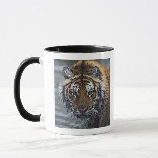 Portrait de tigre sibérien humide tasses