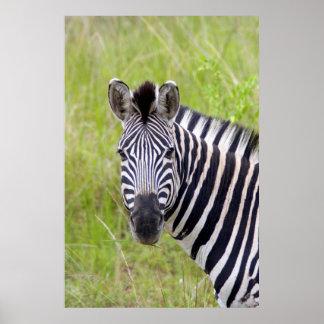 Portrait de zèbre de plaines, jeu de affiche