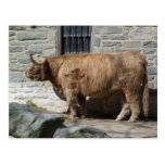Portrait des montagnes écossais de bétail cartes postales