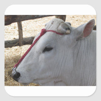 Portrait du Chianina, race italienne des bétail Sticker Carré