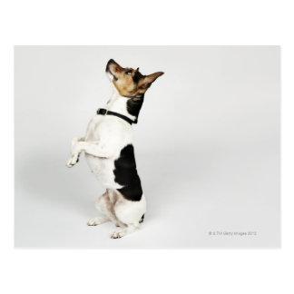 Portrait du chien de Jack Russell se reposant sur  Cartes Postales