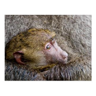 Portrait d'un babouin olive de bébé (Papio Anubis) Cartes Postales