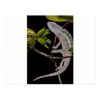portrait d'un caméléon de panthère de mâle (pair carte postale