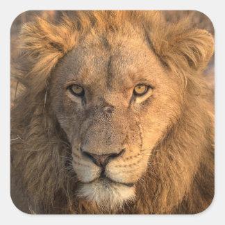 Portrait d'un lion masculin sticker carré