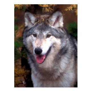 Portrait d'un loup gris carte postale
