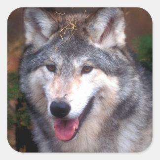 Portrait d'un loup gris sticker carré