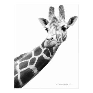 Portrait noir et blanc d'une girafe carte postale