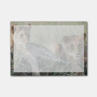 Post-it® Le Kenya, masai Mara, séance de CUB de lion