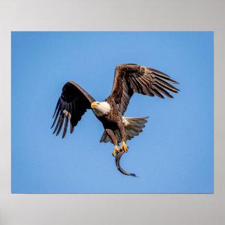 Poster 20x16 Eagle chauve avec un poisson