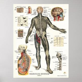 Poster Affiche 18 x 24 d'anatomie de système nerveux