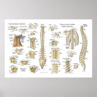 """Poster Affiche 24"""" spinale et de vertèbres d'anatomie X"""