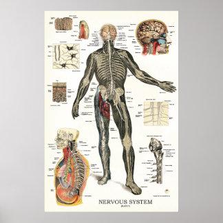 Poster Affiche 24 x 36 d'anatomie de système nerveux