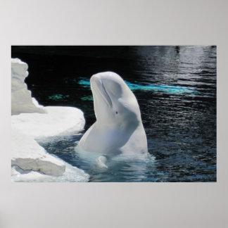 Poster Affiche blanche de baleine de beluga