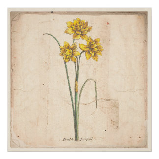 Poster Affiche botanique antique d'impression de Jonquils