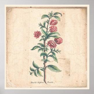 Poster Affiche botanique d'impression d'antiquité de