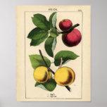 Poster Affiche botanique vintage - Apple et abricot