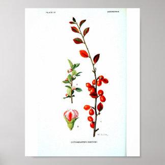 Poster Affiche botanique vintage - baies rouges