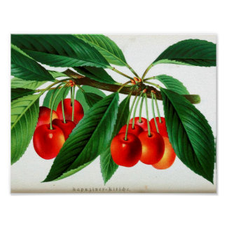 Poster Affiche botanique vintage - cerises