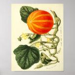 Poster Affiche botanique vintage - citrouille