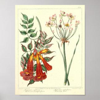 Poster Affiche botanique vintage - fleur sauvage