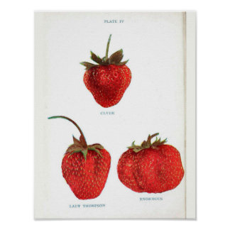Poster Affiche botanique vintage - fraise