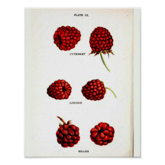 Poster Affiche botanique vintage - framboise