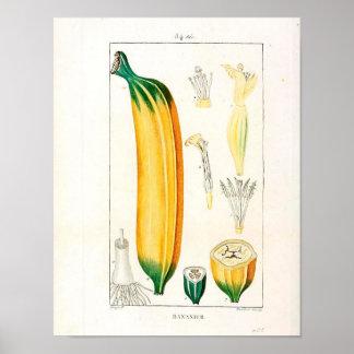 Poster Affiche botanique vintage - fruit de banane