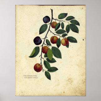 Poster Affiche botanique vintage - prune