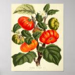 Poster Affiche botanique vintage - tomate