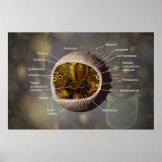 Poster Affiche de cellule humaine