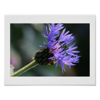 Poster Affiche de l'abeille du célibataire pourpre bleu
