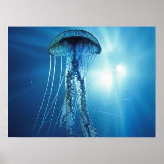 Poster Affiche de méduses