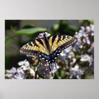 Poster Affiche de papillon de machaon de tigre