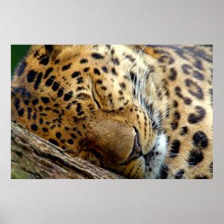 Poster Affiche de sommeil de léopard