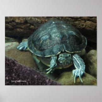 Poster Affiche de tortue