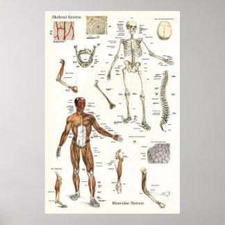 Poster Affiche humaine 24 x 36 squelettique et de muscle