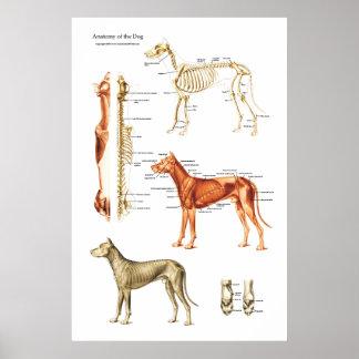 Poster Affiche musculaire et squelettique de chien