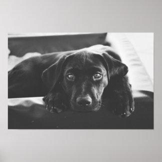 Poster Affiche noire de Labrador
