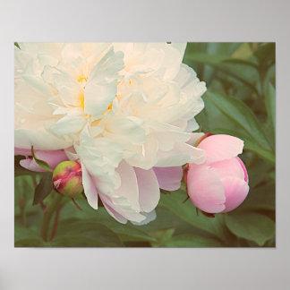 Poster Affiche rose de fleur de pivoine de pivoines