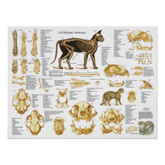 Poster Affiche squelettique 18 x 24 d'anatomie de crâne